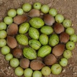 What is Triphala